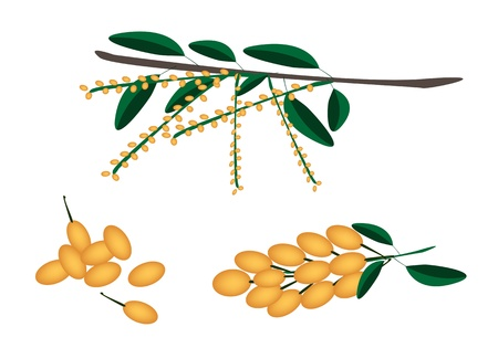 burmese: Fresh Fruits, An Illustration Collection of Yellow Fresh Burmese Grape or Baccaurea Ramiflora and Green Leaves with A Bunch