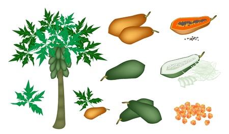 신선한 과일, 신선한 잘 익은 및 설 익은 파파야의 일러스트 집, 조각 파파야, 파파야 덩어리와 파파야 나무