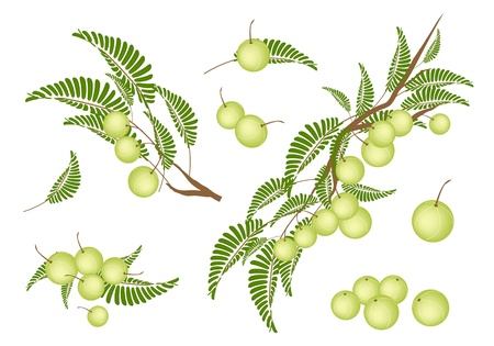 An Illustration Collection of Fresh Indian Gooseberry With Stem and Green Leaves Hanging on Tree Branch