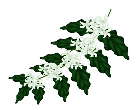 An Illustration Group of Fresh White Coffee Tree Blossom on Green Leaves Isolated on A White Background Vector