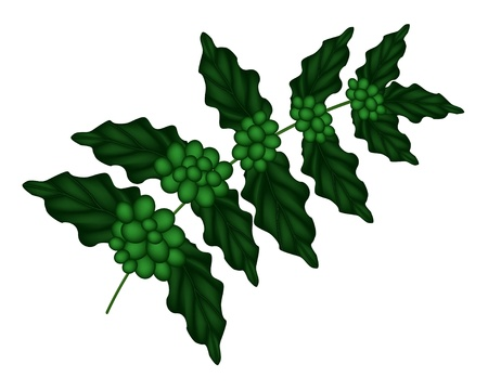 american cuisine: Green Coffee Beans on Leaves and The Branch Isolated on A White Background