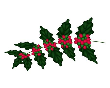 arbol de cafe: Granos de caf� maduros rojos en las hojas y la rama aislado en un fondo blanco