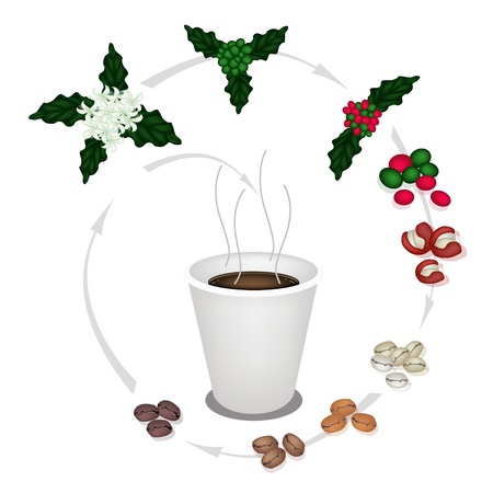 Coffee Time, A Cup of Coffee with Processing of The Roasted Coffee Bean from Coffee Flower into Take Away Coffee