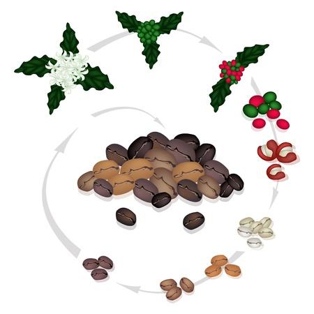 볶은 커피 콩으로 커피 꽃에서 커피 생산의 처리