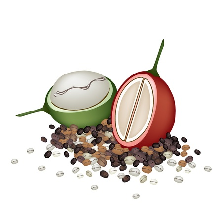 Coffee Time, An Illustration Red Ripe and Green Unripe Coffee Berries with Different Roasted Coffee Beans Isolated on White Background Vector