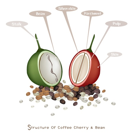 An Illustration Structure of Coffee Cherry and Coffee Bean, Stalk, Bean, Silver Skin, Parchment, Pulp and Skin