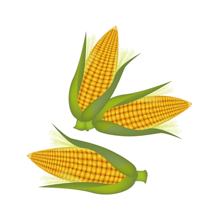 husk: An Illustration of Fresh Ripe Sweet Corns with Green Husk and Golden Silk Isolated on A White Background