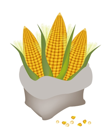 processed grains: Three Fresh Ripe Sweet Corns in A Canvas Bag Isolated on A White Background
