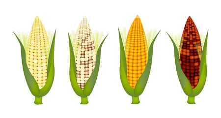 corncob: Four Different Colors of Fresh Corns with Green Husk and Golden Silk, Purple, Yellow, White and Light Yellow Isolated on A White Background  Illustration