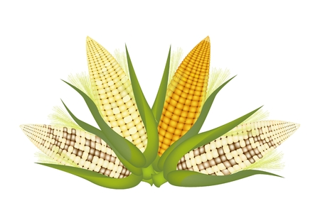 husk: Three Different Colors of Fresh Corns with Green Husk and Golden Silk Isolated on A White Background Illustration