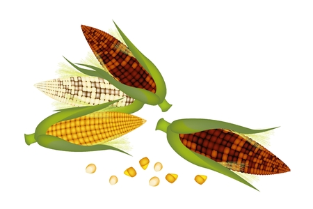 husk: Three Different Colors of Fresh Sweet Corns and Green Husk with Grains of Corn