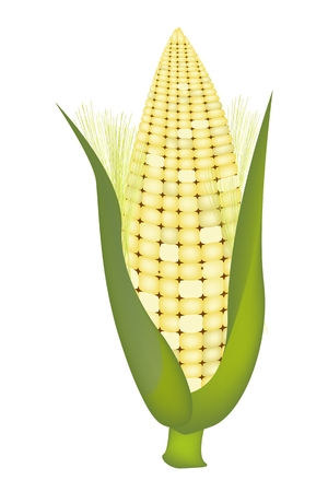 processed grains: Light Yellowe Color of A Fresh Ripe Sweet Corn with Green Husk and Golden Silk Isolated on A White Background Illustration