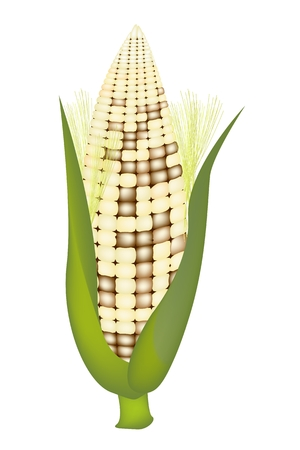 husk: White Color of A Fresh Ripe Sweet Corn with Green Husk and Golden Silk Isolated on A White Background Illustration