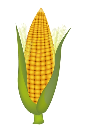 corncob: Yellowe Color of A Fresh Ripe Sweet Corn with Green Husk and Golden Silk Isolated on A White Background