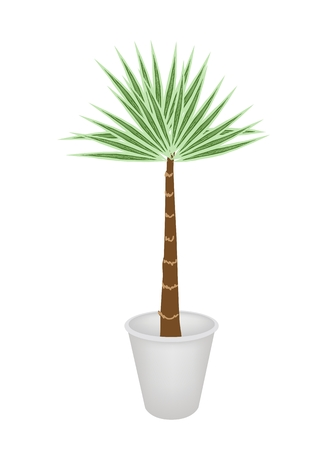 dattelpalme: Eine Abbildung eines Livistona Rotundifolia Palme im Blumentopf f�r Garten-Dekoration Illustration