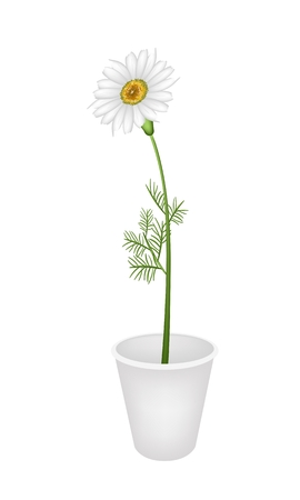 white daisy: A Symbol of Love, Bright and Beautiful Chamomile Flower or White Daisy in Flowerpot for Garden Decoration Isolated on White Background