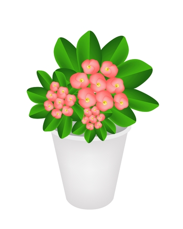 thorn bush: Beautiful Flower, An Illustration Group of Fresh Crown of Thorn or Euphorbia Milii Flowers in Flowerpot for Garden Decoration.