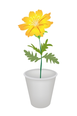 cosmos flower: An Illustration Yellow Color of Cosmos Flower in Flowerpot for Garden Decoration.