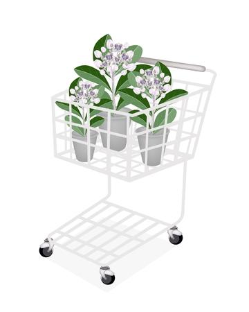 milkweed: Beautiful Flower, A Shopping Cart Full with Fresh Calotropis Gigantea Flower