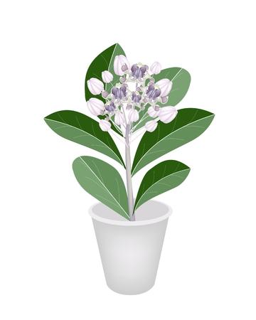 milkweed: Beautiful Flower, Group of Fresh Calotropis Gigantea Flower