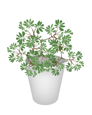 hedge trees: Tree and Plant, Terminalia Ivorensis Trees in Flowerpot for Garden Decoration.