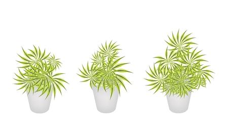flowerpots: Three Dracaena Plants or Yucca Trees in Flowerpots