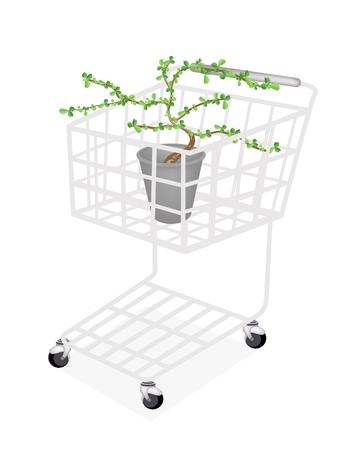 bonsai tree: Bonsai Tree, A Shopping Cart Full with Carmona Retusa (Vahl) Masam Plant in A Flowerpot for Garden Decoration.