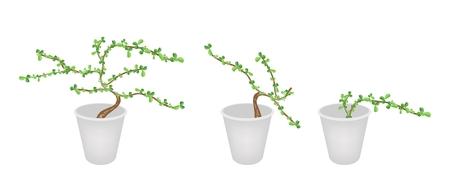 bonsai tree: Bonsai Tree, An Illustration Collection Carmona Retusa (Vahl) Masam Plant in Three Flowerpots for Garden Decoration.