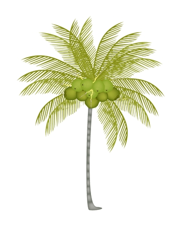coconut fruit: Ecological Concept, An Illustration of Beautiful Fresh Coconuts with Tropical Palm Tree and Coconut Fruit