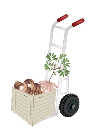 dolly: Hand Truck or Dolly Loading Cardboard Box Full with Fresh Raw Taro Roots and Taro Plant, Ready for Shipping or Delivery.   Illustration