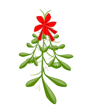 christmas holly: Mistletoe Bunch or Viscum Album with A Christmas Red Ribbon For Christmas Celebration, Isolated on White Background