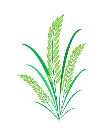 Concepto de medio ambiente, ilustración vectorial de fresco Cosecha del arroz o de cereales Las plantas con hojas verdes aisladas sobre fondo blanco