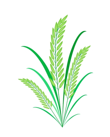 Environmental Concept, Vector Illustration of Fresh Rice Crop or Cereal Plants with Green Leaves Isolated on White Background  Vector