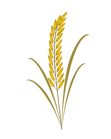 Environmental Concept, Vector Illustration of Beautiful Ripe Rice Crop or Cereal Plants with Green Leaves Isolated on White Background  Vector