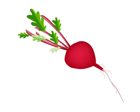 Vegetable, Vector Illustration of Fresh Radish or Red Beet with Leaves Isolated on White Background