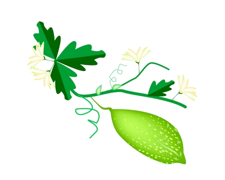 bitter: Vegetable and Herb, Vector Illustration of Balsam Pear, Balsam Apple, Bitter Gourd and Bitter Melon Hanging on A Vine Isolated on White Background  Illustration