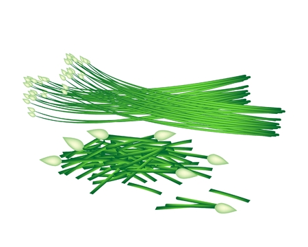 chives: Vegetable and Herb, Vector Illustration of Chopped Garlic Chives wiht Fresh Chinese Garlic Chives or Ku Chai Isolated on White Background