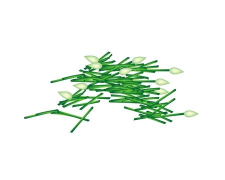 チャイブ: 野菜とハーブのベクトル イラスト ニンニク チャイブのみじん切りまたは区チャイ白い背景で隔離