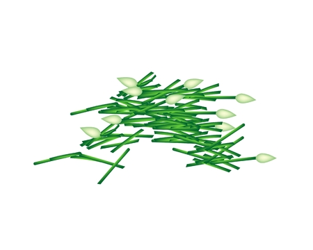 chives: Vegetable and Herb, Vector Illustration of Chopped Garlic Chives or Ku Chai Isolated on White Background