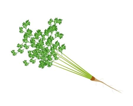 koriander: Növényi és Herb, vektoros illusztráció csokor friss petrezselyem vagy koriander elszigetelt fehér alapon