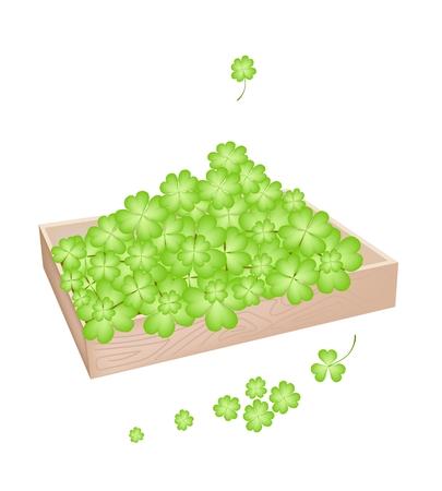 cloverleafes: Simboli per la fortuna e la fortuna, illustrazione vettoriale scatola di legno piena con Fresh Four Leaf Clover piante o Shamrock per St. Patricks Day Celebration. Vettoriali