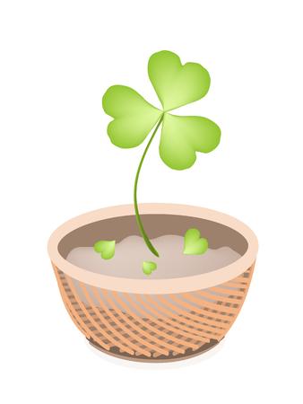 cloverleafes: Simboli per la fortuna e la fortuna, Illustrazione di crescita Four Leaf Clover piante o Shamrock in un bel cestino di vimini per St. Patricks Day Celebration.