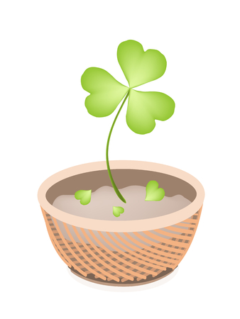 cloverleafes: Symbols for Fortune and Luck, Illustration of Growing Four Leaf Clover Plants or Shamrock in A Beautiful Wicker Basket for St. Patricks Day Celebration.
