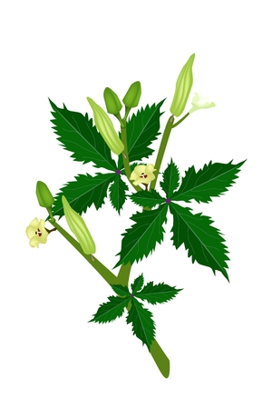 Vegetable and Herb, Vector Illustration of Okra or Lady Finger Plant with Blossom, Buds and Okra Baby Isolated on White .  Vector