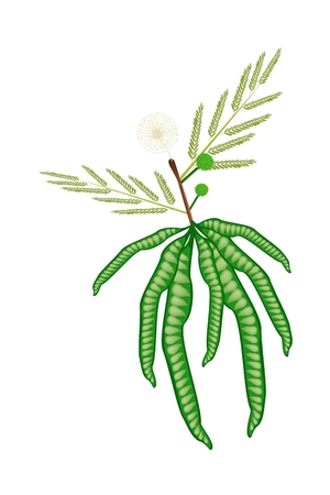 Vegetable and Herb, Vector Illustration of Flower, Pods and Leave on White Popinac, Wild Tamarind, Leadtree and Leucaena Glauca Benth Twig.  Vector