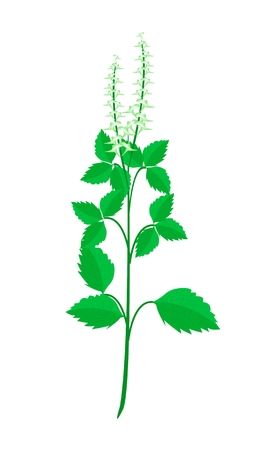 tulsi: Vegetable and Herb, Illustration of Holy Basil or Sacred Basil Plant with Blossom Used for Seasoning in Cooking.  Illustration