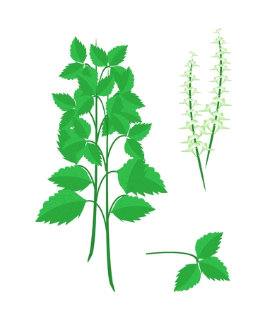 thai herb: Vegetable and Herb, Illustration Parts of Holy Basil or Sacred Basil, Plant, Blossom and Leaves Used for Seasoning in Cooking.