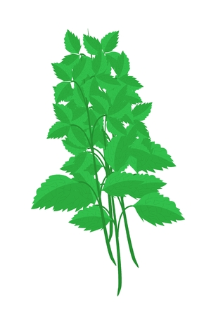 religion  herb: Vegetable and Herb, Illustration of Holy Basils or Sacred Basil Plants Used for Seasoning in Cooking.