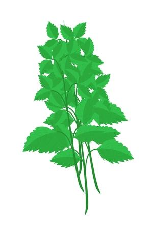 basil herb: Vegetales y hierbas, ilustraci�n de Santo Basils o Sagrado albahaca plantas utilizadas para condimento en la cocina.