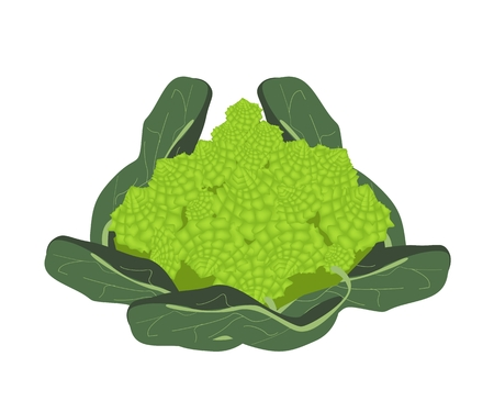brassica: Vegetable, Vector Illustration of Delicious Fresh Green Romanesco Broccoli Cabbage, Fractal Romanesco Cabbage or Roman Cauliflower Isolated on White Background.